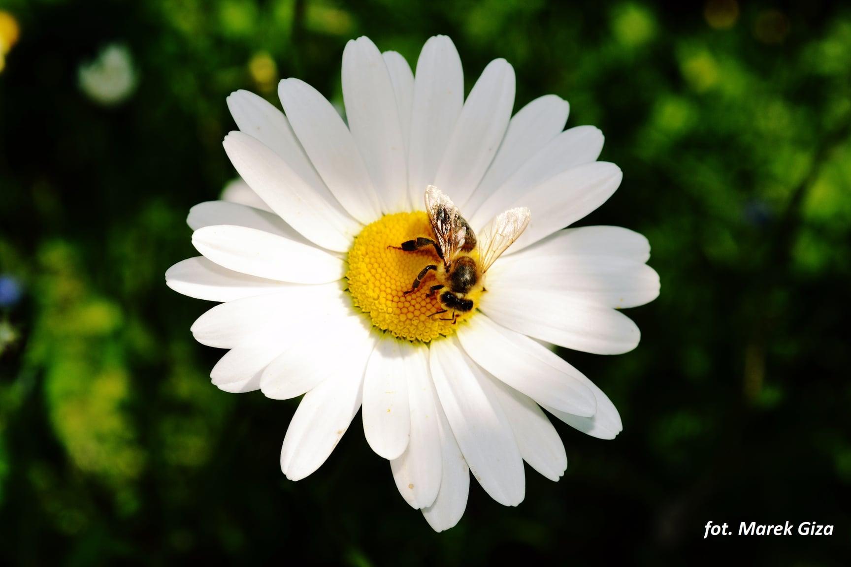 pszczoła na stokrotce - fot. Marek Giza